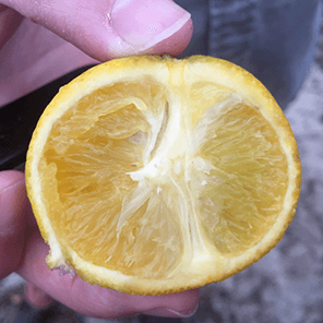 citrus affected by HLB