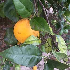citrus trees closeup